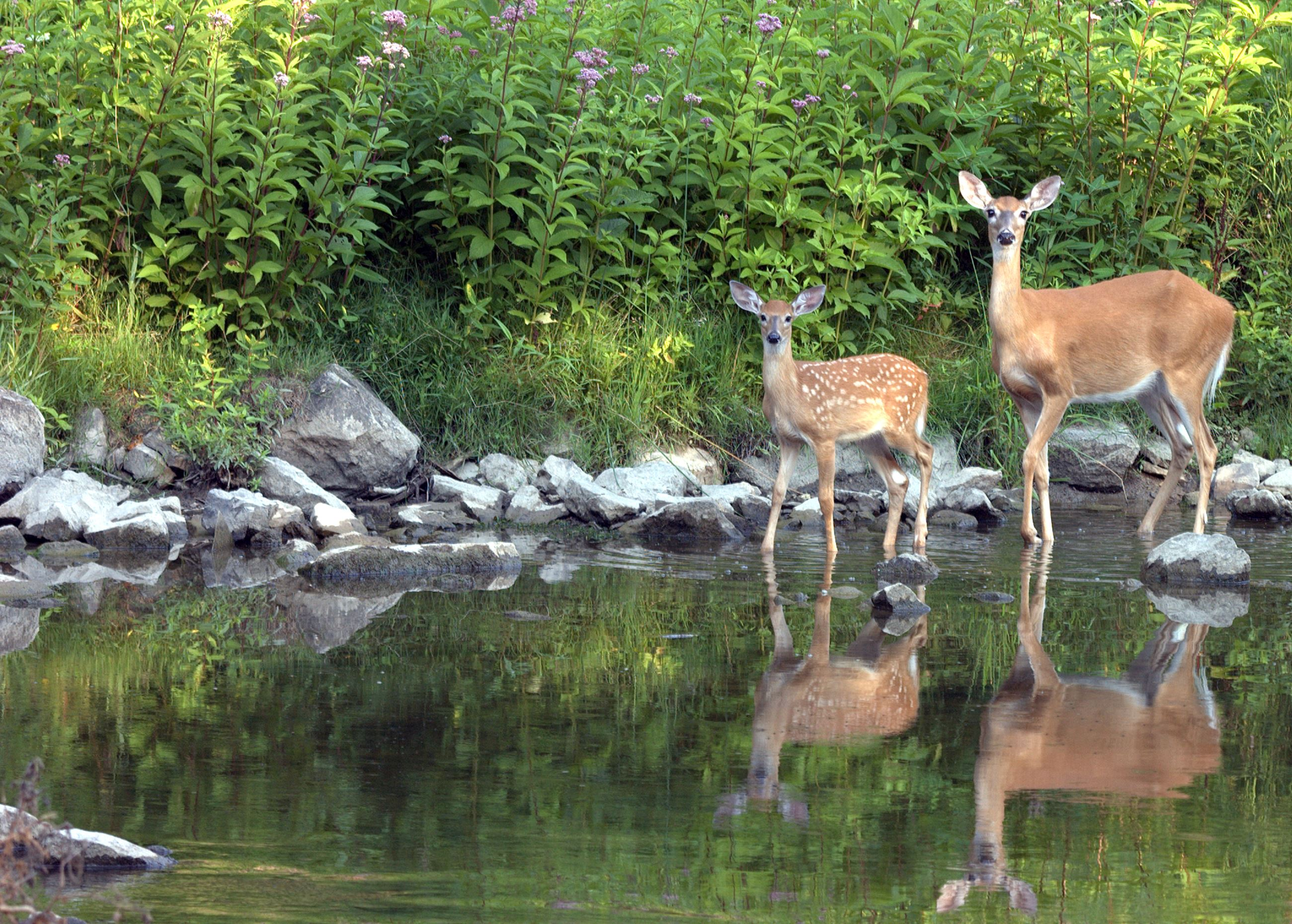 Mom and baby deer in water