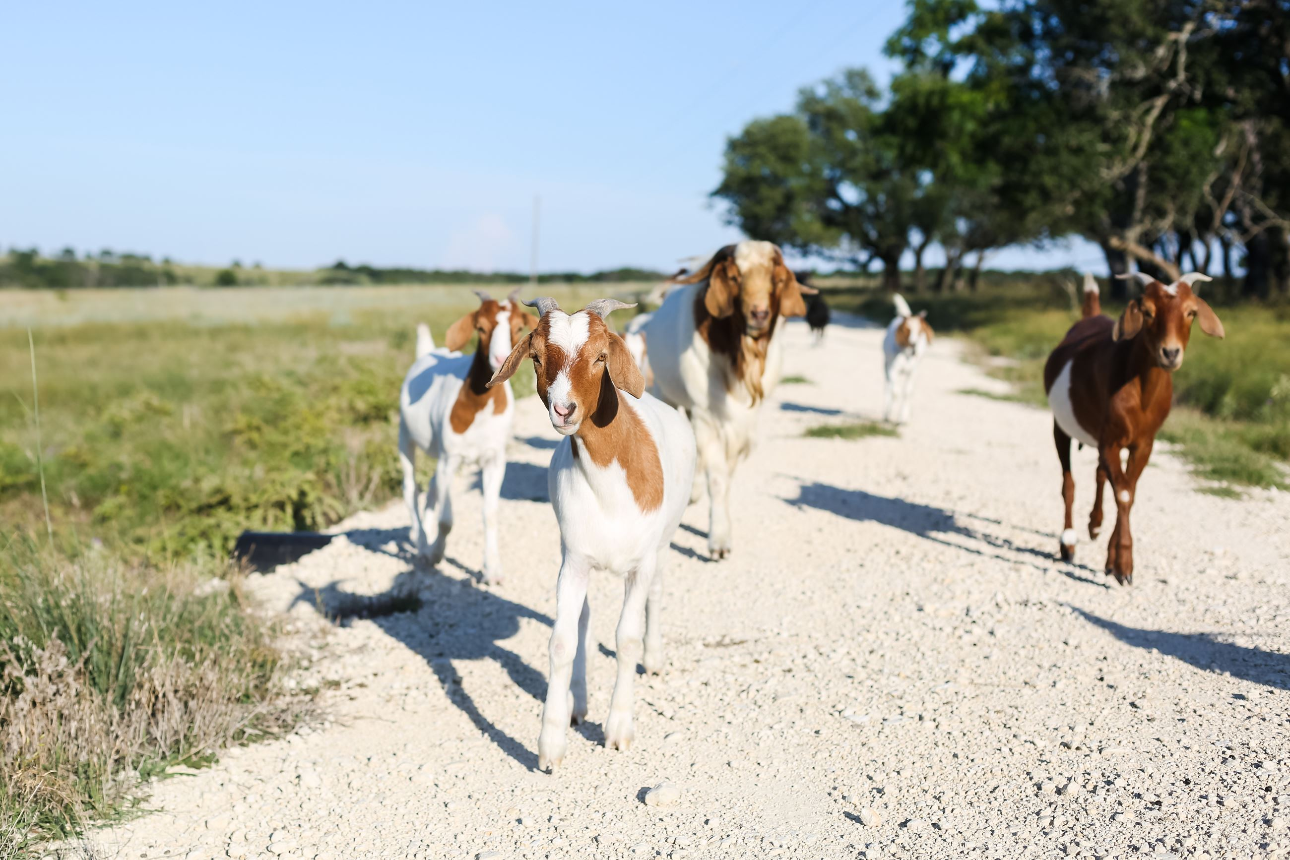 Goats on a gravel road